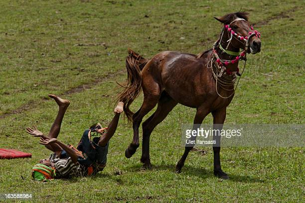 Pasola rider falls after hit by spear during the pasola war festival at Wainyapu village on March 7 2013 in Sumba Island East Nusa Tenggara Indonesia...