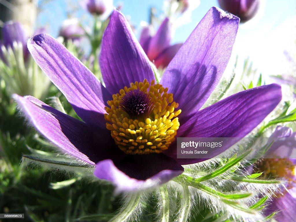 Pasque Flower -Pulsatilla vulgaris : Stock Photo