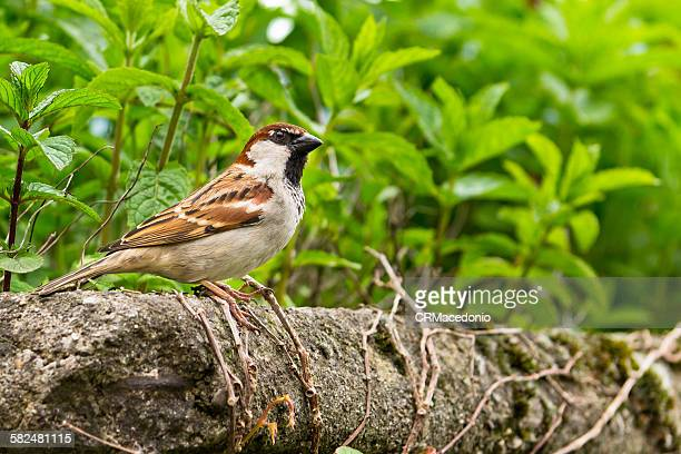 passer is a genus of sparrows - crmacedonio stock-fotos und bilder