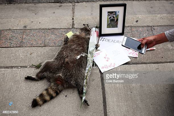 Passerbys take photos of a memorial at the corner of Church and Yonge for a dead raccoon The dead raccoon has spawned its own hashtag #DeadRaccoonTO