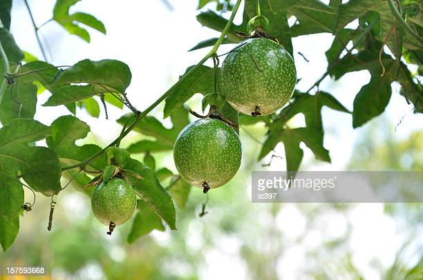 Passiflora Edulis/Passion Fruit Tree