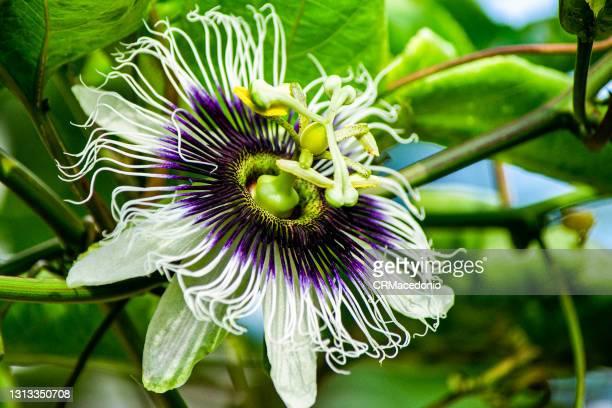 passiflora flower. - crmacedonio ストックフォトと画像