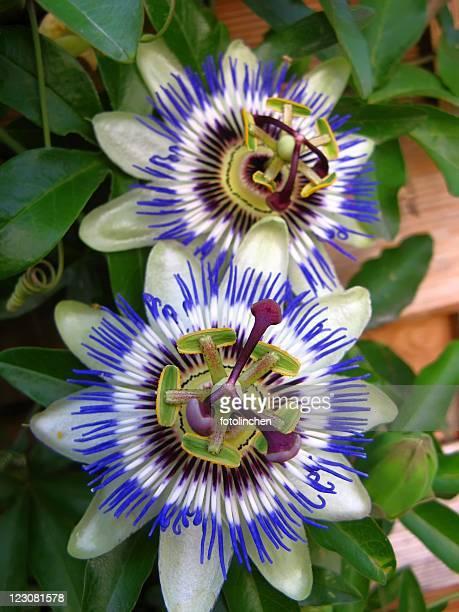 Passiflora-Passionsblume