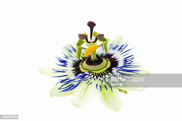 Passion flower against white background