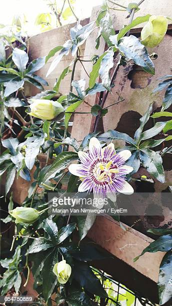 Passion Flower Blooming In Yard