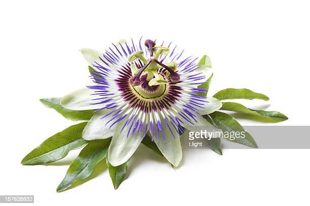 Passiflora (Passiflora