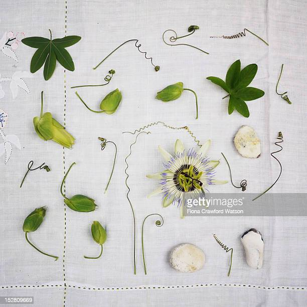 passion flower, tendrils and leaves