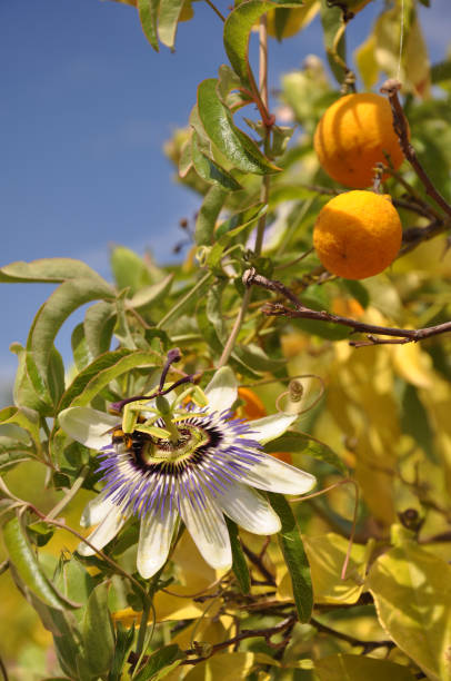 Passion fruits and flowers