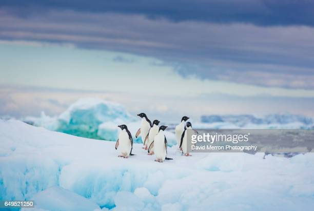 pastel adelies - antarctique photos et images de collection