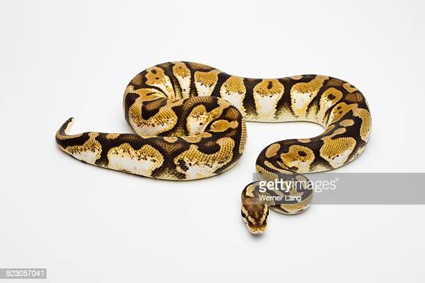 Pastel Calico Ball Python or Royal Python -Python regius-, female