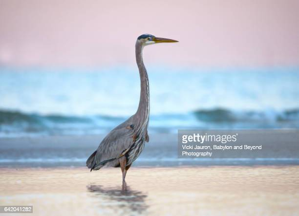 pastel colors and a great blue heron at fort myers beach, florida - lee county florida stock photos and pictures