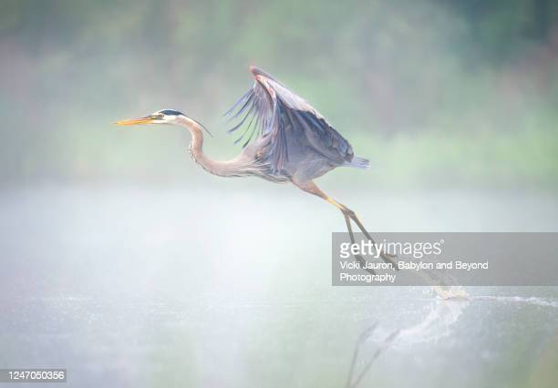 pastel colors and great blue heron lifting off from pond in pennsylvania - north america stock pictures, royalty-free photos & images