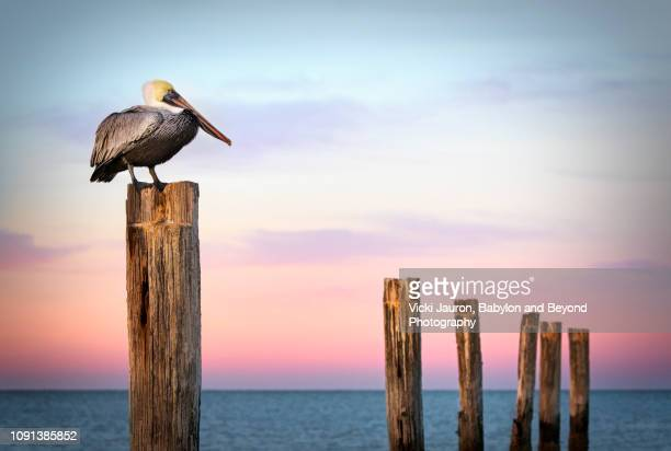 pastel colors, posts and a pelican at sunrise at fort myers beach, florida - fort myers beach stock pictures, royalty-free photos & images