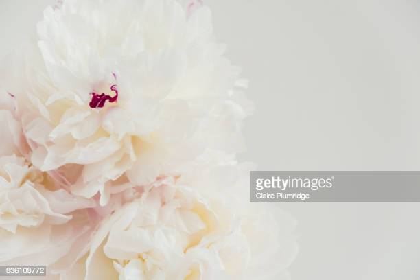 pastel - creamy peonies - off white stock pictures, royalty-free photos & images