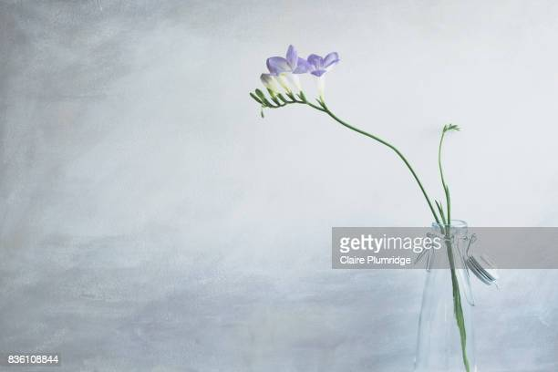 pastel - purple freesia - single flower stock pictures, royalty-free photos & images