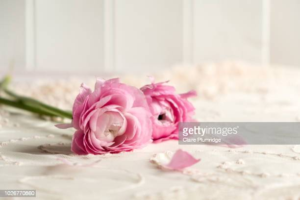 pastel styled stock image of pink ranunculus flowers on a lace covered table top with a white wooden background - lace textile stock pictures, royalty-free photos & images