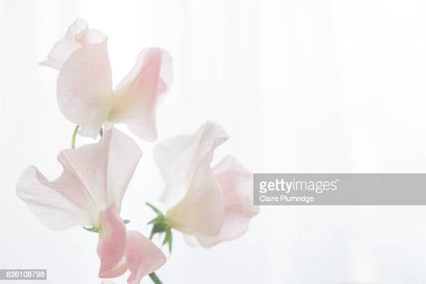 pastel - sweet peas - translucent stock pictures, royalty-free photos & images