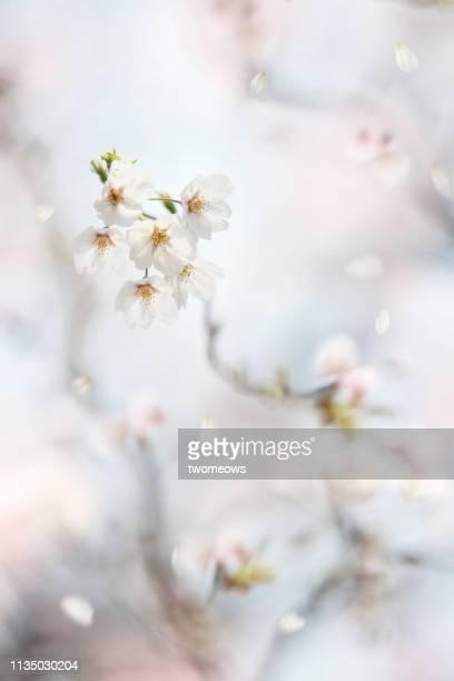 pastel tone cherry blossom in tokyo japan. - ええじゃないか 発祥の地 ストックフォトと画像