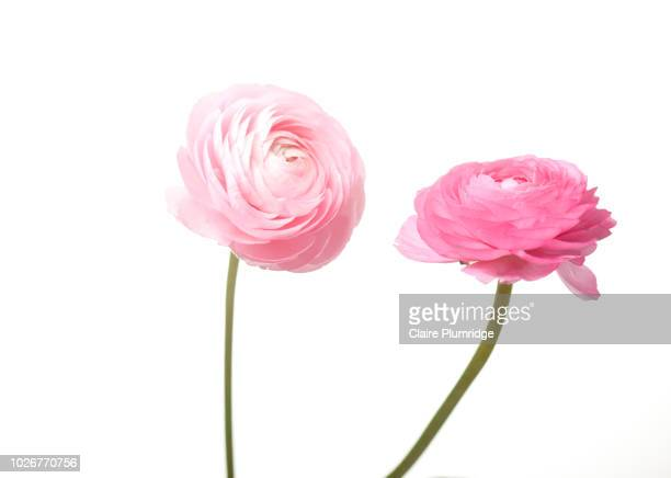 Pastel - two pink Ranunculus flowers
