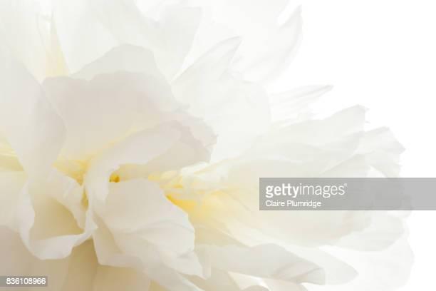 pastel - white peony - pivoine photos et images de collection