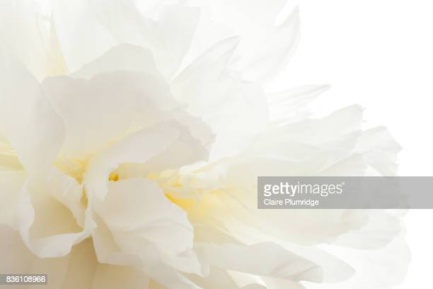 Pastel - white peony