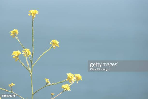 pastel - yellow flowers - claire plumridge stock pictures, royalty-free photos & images