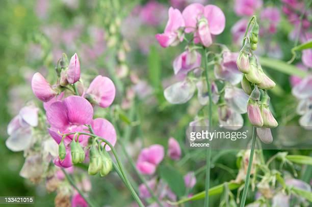 Pastellic flower