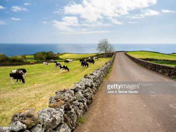 Pastoral landscape, cows grazing over pastures green separated by stone walls. Terceira Island in the Azores, Portugal.