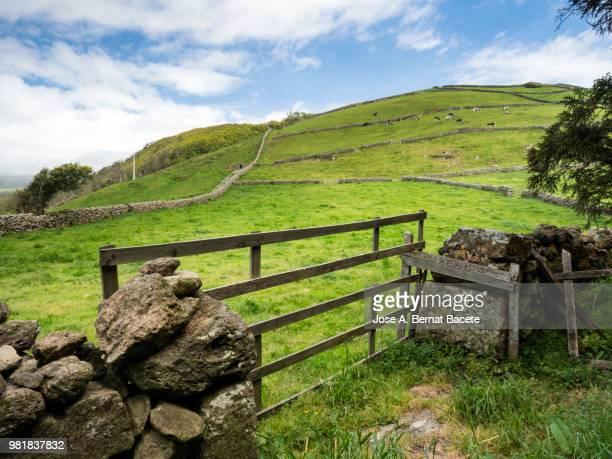 Pastoral landscape, green fields for cultivation separated by stone walls with dairy cattle, cows. Terceira Island in the Azores islands, Portugal.