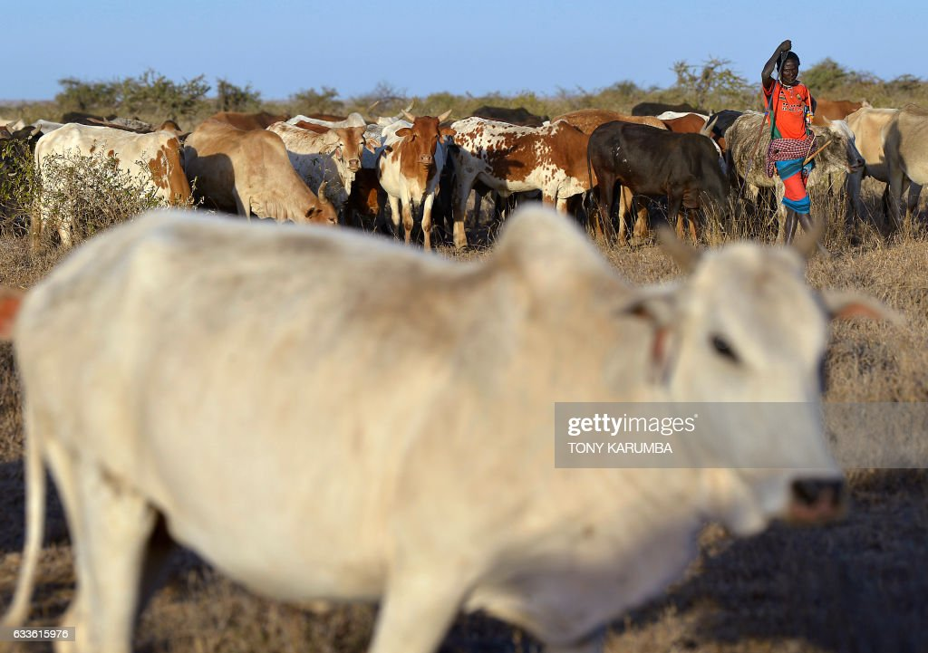 KENYA LIVESTOCK ANIMAL CLIMATE DROUGHT UNREST News Photo