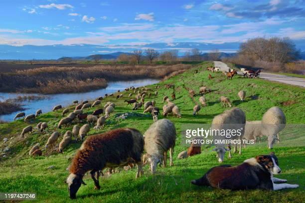 pasturage at keramidi trikala - dimitrios tilis stock pictures, royalty-free photos & images