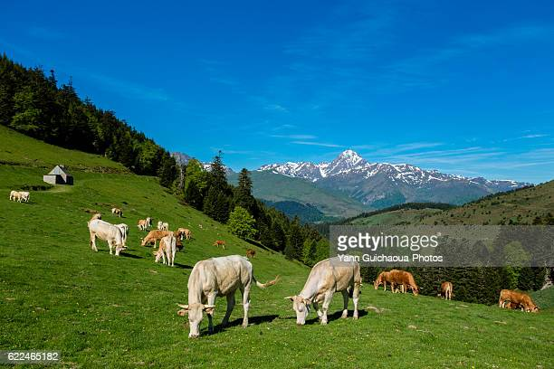 Pasture in the col d Aspin, Hautes Pyrenees, France
