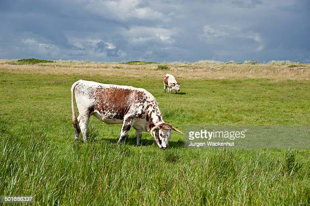 Cow Digestive System Stock Photos And Pictures Getty Images