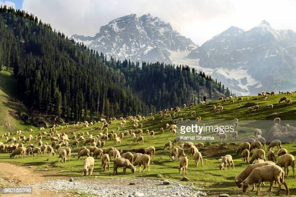 pasture - shepherd stock pictures, royalty-free photos & images
