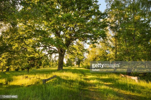 a pasture with large oaks in the evening light in the summer - juin photos et images de collection