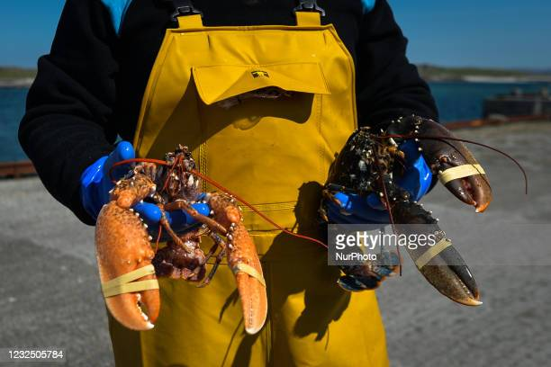 Pat Conneely, co-owner of a family holds live lobsters at Saturday's Fish Market at Bunowen Harbor in Aillebrack. The traditional weekly fish market...