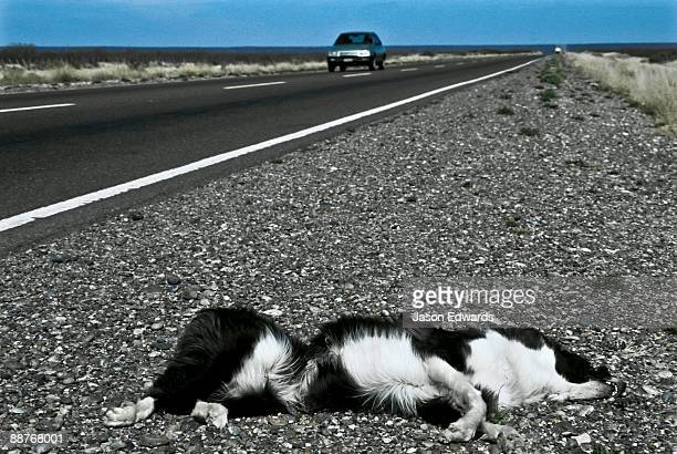 A pet Collie lies dead beside a highway on the Patagonian steppe.