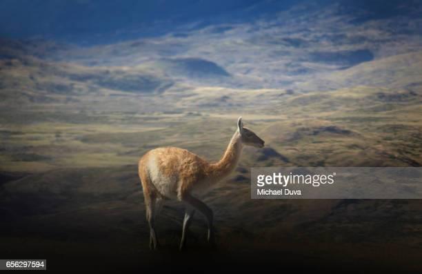 patagonia chile guanaco amongst mountains - llama animal fotografías e imágenes de stock