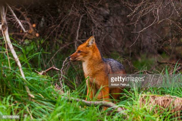 patagonia fox, torres del paine, chile - gray fox stock photos and pictures