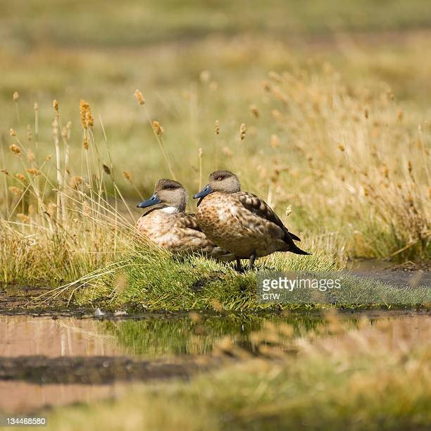 patagonian crested ducks (lophonetta specularioides), atacama desert, antofagasta region, chile, south america - vista lateral stock pictures, royalty-free photos & images