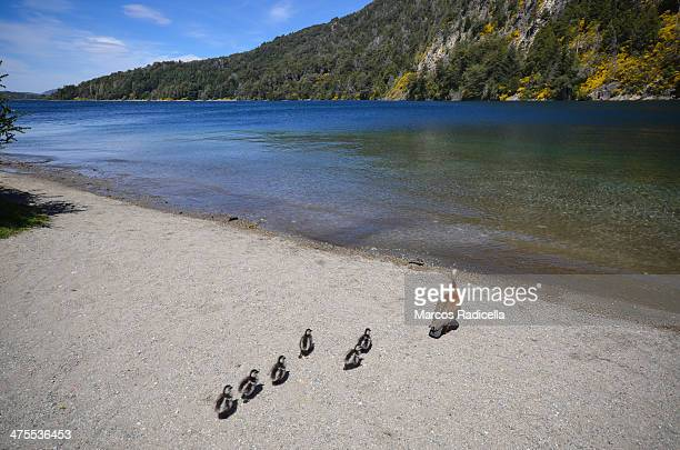 patagonian family water birds - radicella stock pictures, royalty-free photos & images