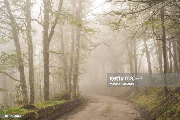patagonian forest on a misty afternoon - radicella stock pictures, royalty-free photos & images