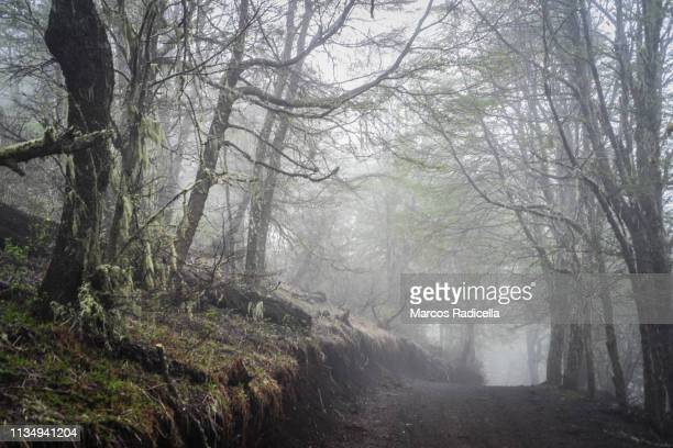 patagonian forest on a misty afternoon - radicella stock photos and pictures
