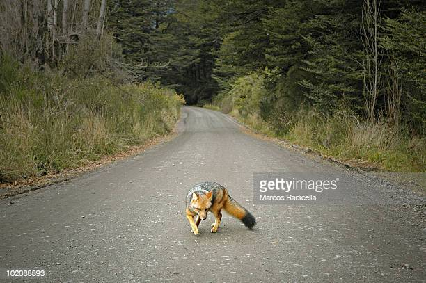 patagonic fox on the forest road - radicella stock photos and pictures