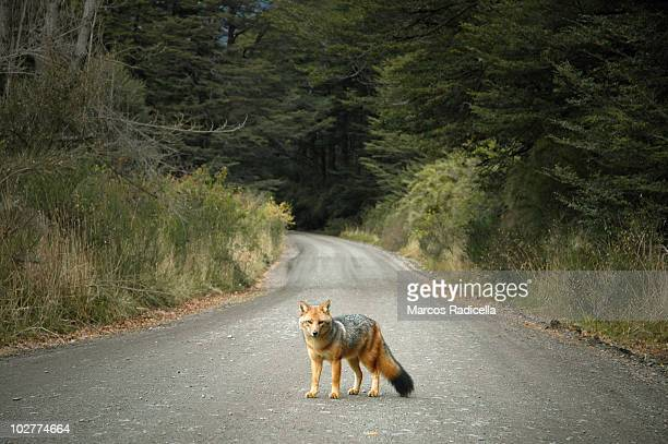 patagonic fox - radicella stock photos and pictures