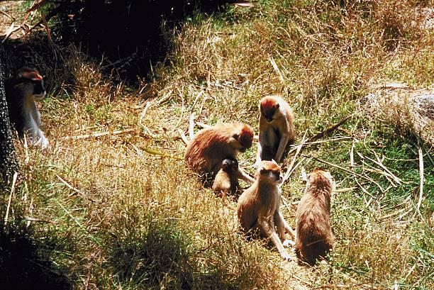 Patas monkeys in field