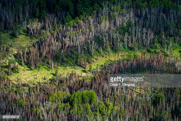 A patch of damaged forest near Anchorage in Alaska The borealis forest – typically pine birch and larch make up about thirty percent of all forest in...