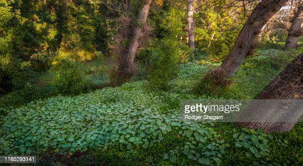 patch of green nasturtiums growing on a forest floor - forest floor stock photos and pictures