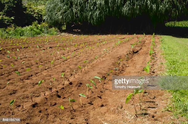 patch of taro plants with hala trees beyond - timothy hearsum stock photos and pictures
