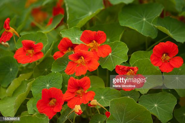 A patch of vivid red nasturtium flowers